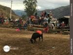 Warten auf den Einsatz: Stier in Ecuador