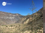 Pointierte Flora im peruanischen Colca Canyon