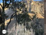 Kampf gegen Parasitenbefall: Baum im Colca Canyon