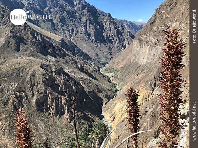 Dieses Bild zeigt den Blick in das Tal des Colca Canyon, Peru, in dem unten ein Fluss fließt, der von schroffen Felswänden umrahmt wird.