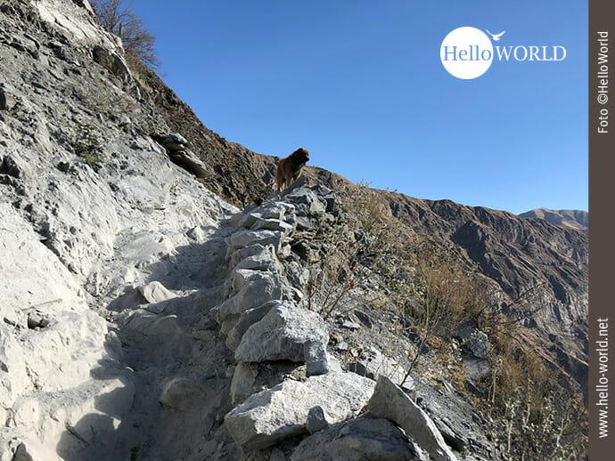 Dieses Bild zeigt einen Hund im Colca Canyon, Peru, der am Rand des steilen steinigen Weges steht und in die Ferne blickt.