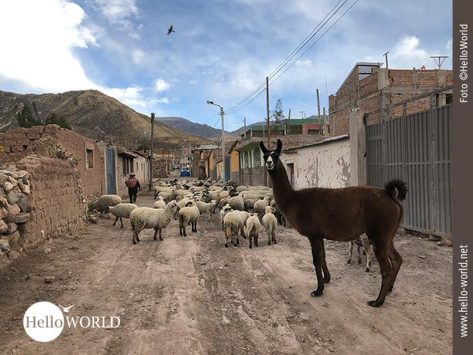 Achtung! Tierischer Straßenverkehr in einem Colca-Dorf