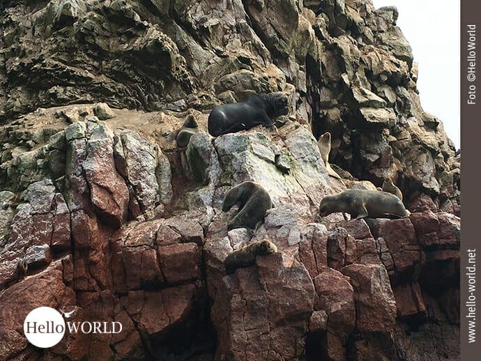 Auf Platzsuche: Robben bei den Islas Ballestas